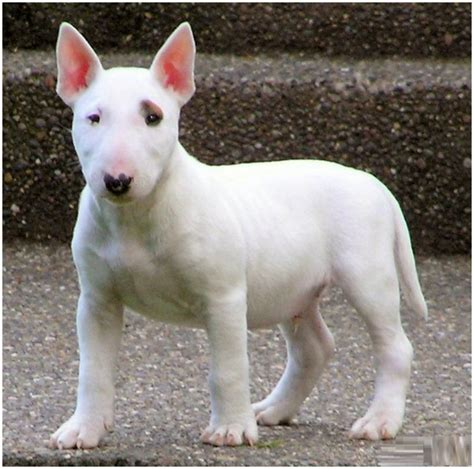 Bull Terrier Shedding bull terrier puppies pictures diet facts