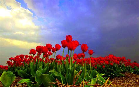 tulip field tulip fields wallpaper 1920x1200 55462
