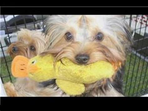 how to care for a yorkie puppy beautiful pictures of breed terrier funnydog tv