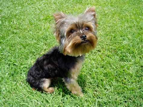 pictures of yorkies with puppy cuts puppy gallery cypress falls yorkies