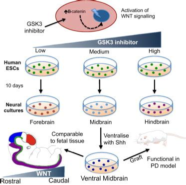 bioreactor cell culture protocol generation of regionally specified neural progenitors and