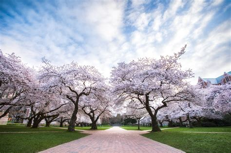 u of s cherry trees of washington cherry blossoms by michael matti flickr photo