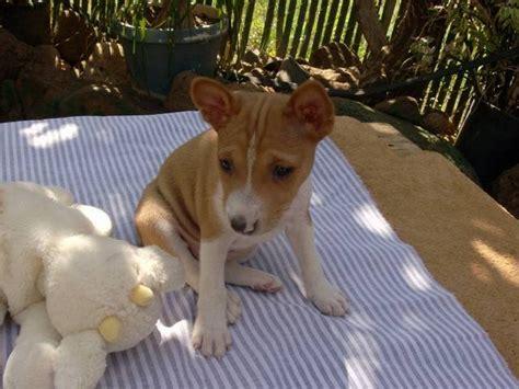 puppies for adoption hawaii barkless basenji puppies for sale adoption from waianae hawaii honolulu adpost