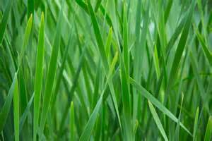 Green Grass by Green Grass Free Stock Photo Domain Pictures
