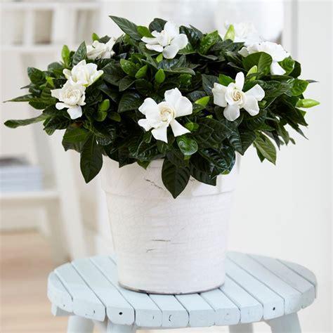 buy gardenia gardenia jasminoides