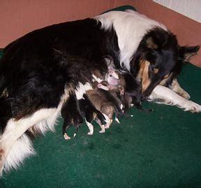 scotch collie puppies new litter of scotch collie puppies in illinois time scotch collie association
