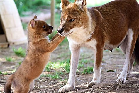 are dogs endangered dhole indian endangered species spotlight