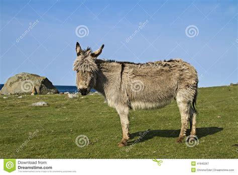 fjord mule fjord donkey stock photo image 41840267