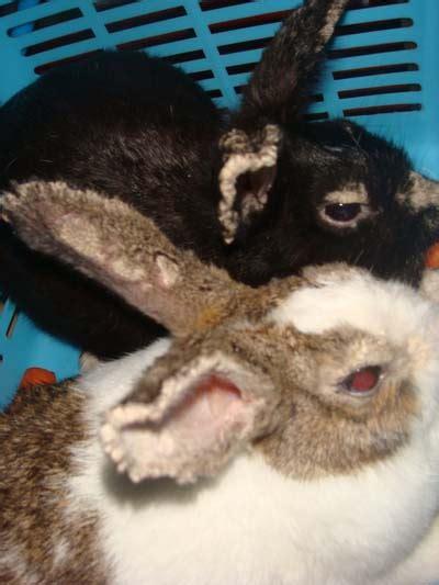 Salep Scabicid cara mengobati scabies gudig koreng pada kelinci
