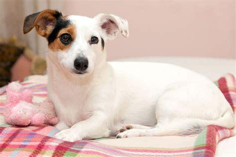 alimentazione cani piccola taglia cani di piccola taglia le abitudini e le giuste cure
