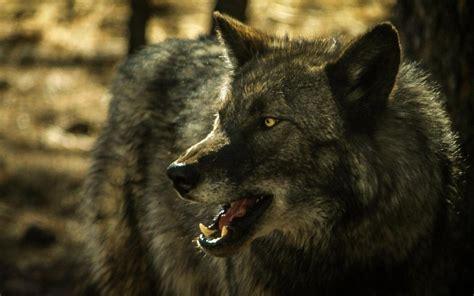 imagenes hd lobos hd lobo gris fondos de pantalla gratis