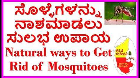 how to get rid of mosquitoes naturally how to kill mosquitoes naturally 100 working kannada