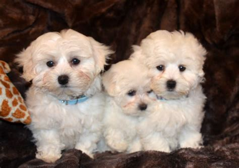 maltese puppies for sale lovely maltese puppies for sale west