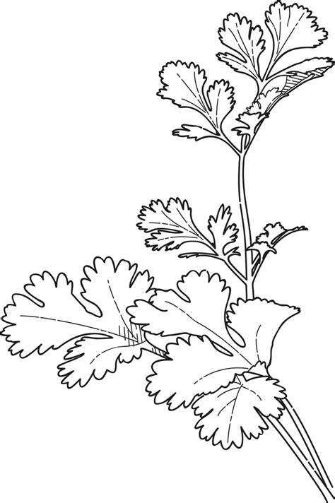 cilantro coriander coloring page coloring pages reusable