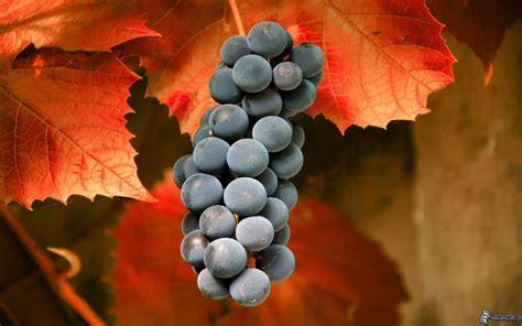 imagenes hd uvas racimo de uvas