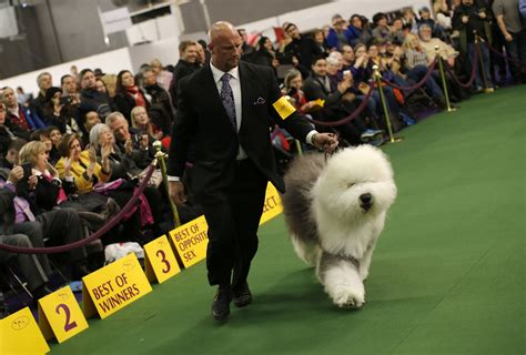 winner of westminster show westminster show results 2015 tuesday s winners