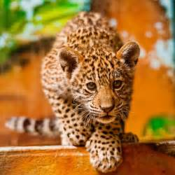 Pics Of Baby Jaguars Baby Jaguar Animals