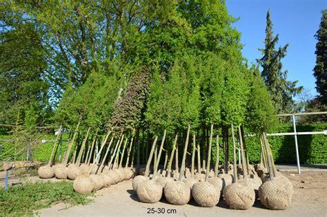 japanischer fächerahorn kaufen 699 gro 195 ÿe obstb 195 164 ume 226 s 195 164 ulenobst 226 kleinbaum 226