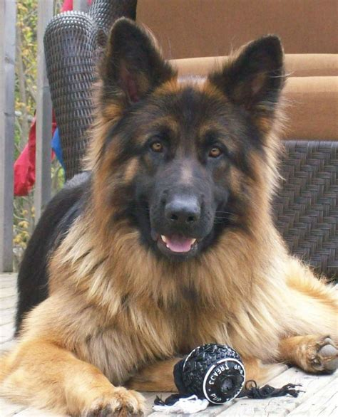 haired german shepherd puppies ohio 25 best ideas about coat german shepherd on german dogs black