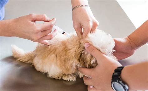 what vaccines do puppies need year puppy vaccinations a complete guide american kennel club
