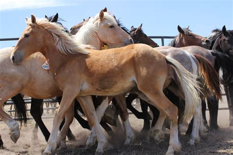 blm mustang adoption requirements adopt a mustang