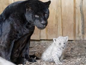 White Jaguar Cat White Jaguar Cubs Born