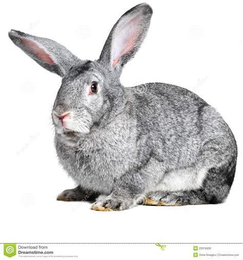 Grey Rabbits grey house rabbit stock photo image of sitting pets 23316930