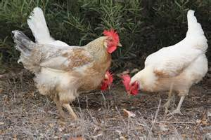 Backyard Chickens Australia Newcastle Disease Information For Commercial Poultry Producers Department Of Agriculture And