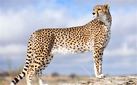 Cheetah Facts, History, Useful Information and Amazing ...