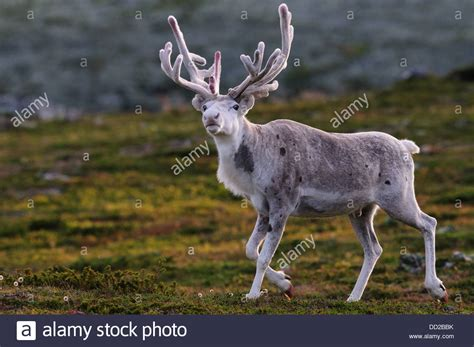 how to get raindear anters white white reindeer with velvet antlers in evening backlight in stock photo royalty free image