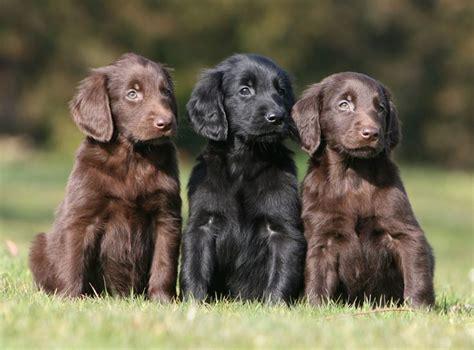 flat coat retriever puppies flat coated retrievers my heva and other flat coated retrievers