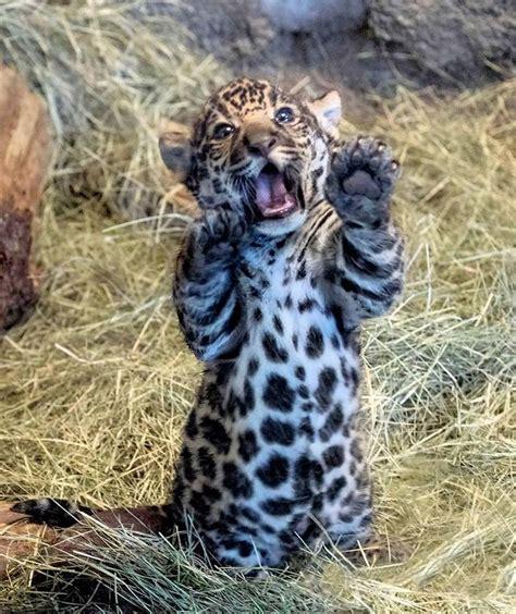 jaguar cub   handfuland mouthful