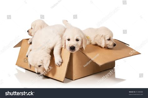 puppy in a box puppies golden retriever in a box on a white background stock photo 81288088