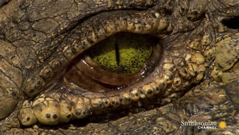 what color are alligators astounding facts about crocodile smithsonian