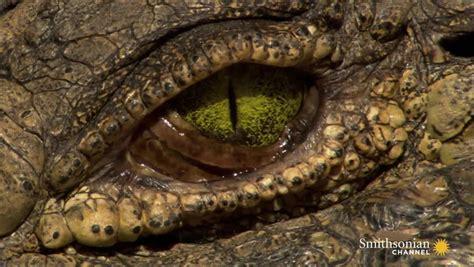 astounding facts  crocodile eyes smithsonian magazine