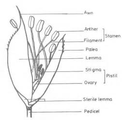 panicle and spikelet morphology of rice agropedia