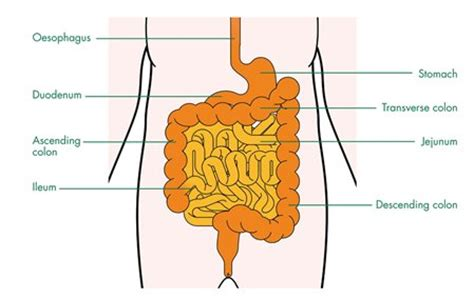 upper section of the small intestine small bowel cancer cancer information macmillan cancer