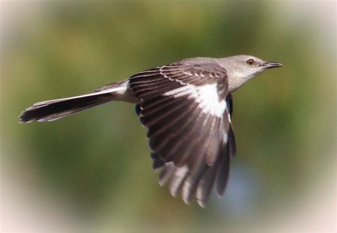 A Mocking by Mockingbird Flying Www Pixshark Images Galleries