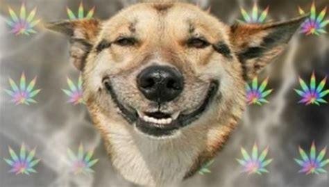 Stoner Dog Meme Generator - medical marijuana legalization in colorado has led to