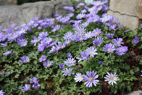 anemone blanda anemone blanda
