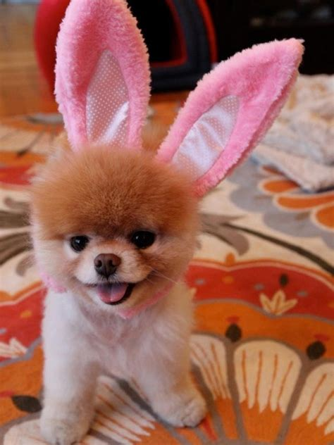 boo the pomeranian happy easter from boo the pomeranian