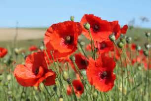 the literary pig a good year for the poppies