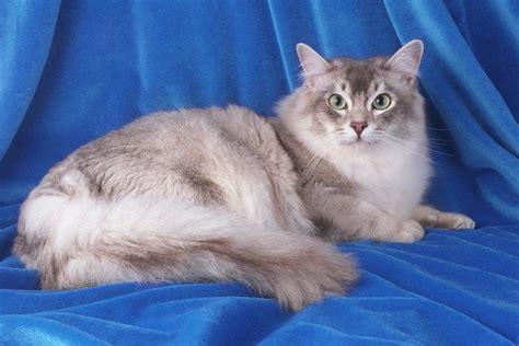 Asian Semi longhair (Tiffany/Tiffanie) Cat Info, History