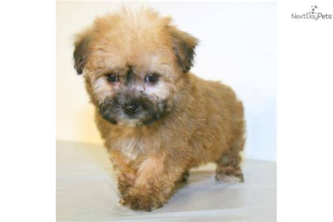 teddy cut yorkie poo how to give a yorkie poo a teddy cut yorkie poo teddy cut hairstyle gallery