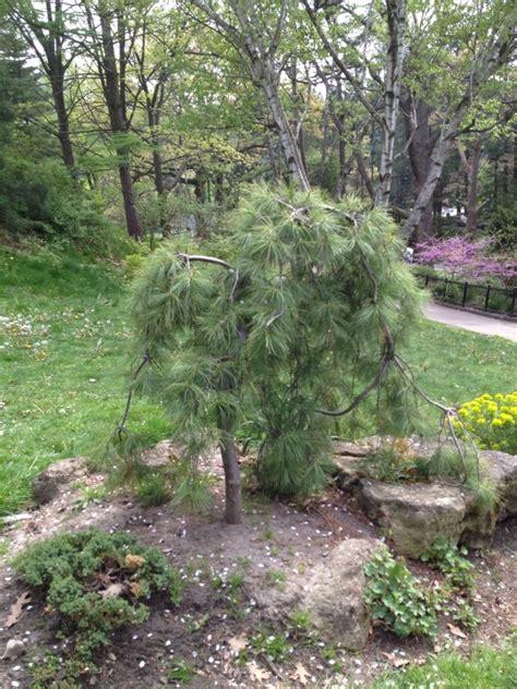 weeping white pine my favorite trees pinterest