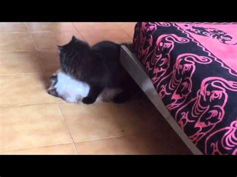 accoppiamento gatti persiani accoppiamento gatto vidoemo emotional unity