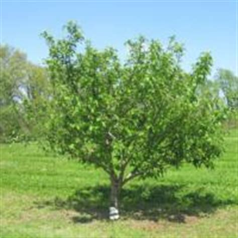 stark nursery fruit trees fruit trees from stark bro s nurseries fruit trees for sale