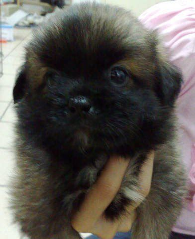 shih tzu pekingese mix puppies for sale shih tzu for sale for sale in selangor malaysia breeds picture