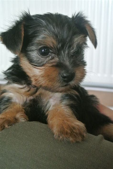 miniature yorkie pictures puppy terrier breeds picture