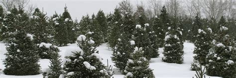 28 best grand rapids christmas tree farms cut your own